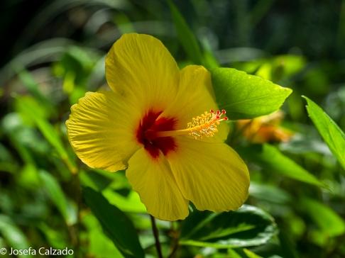 Pacíficio (Hibuscus amarillo)