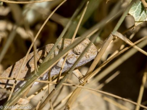 Camaleón común