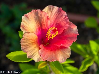 Pacífico (Hibuscus rojo)