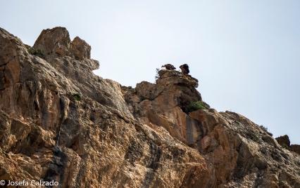 Buitres en su habitat