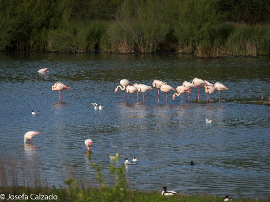 Tarro blanco, pato colorado, flamencos