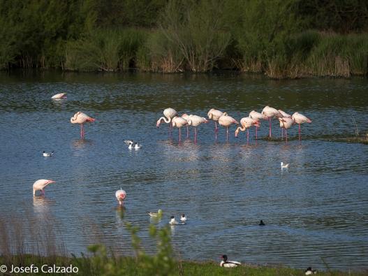 Tarro blanco, pato colorado, flamencos