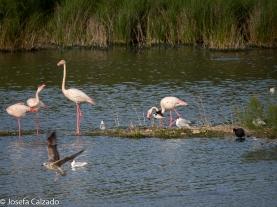 Cigueñuela, flamencos, aguilucho lagunero en pleno vuelo