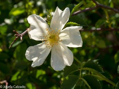 Flor del zarzal