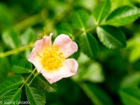 Rosa del zarzal