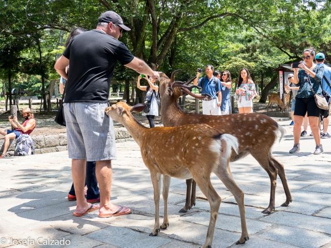 Turistas dando de comer los ciervos