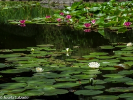 Detalle estanque con nenúfares de diferentes colores