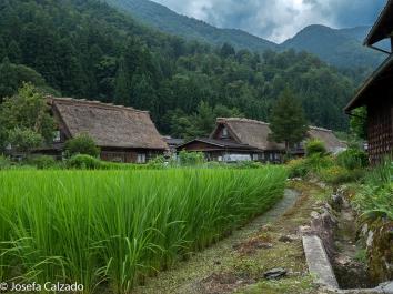 Detalle campos de arroz