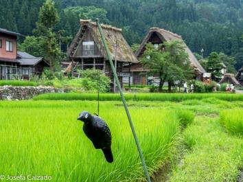Espantapájaros en campo de arroz