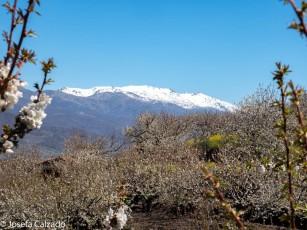 Cerezos y nieve