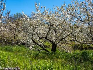 Pradera de cerezos