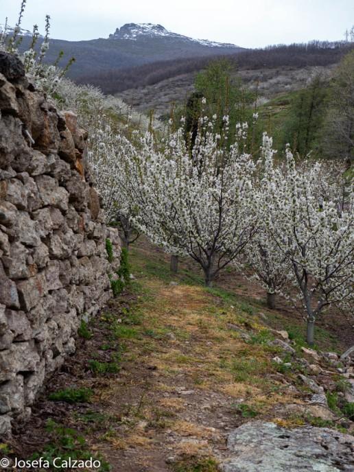Paseo entre cerezos