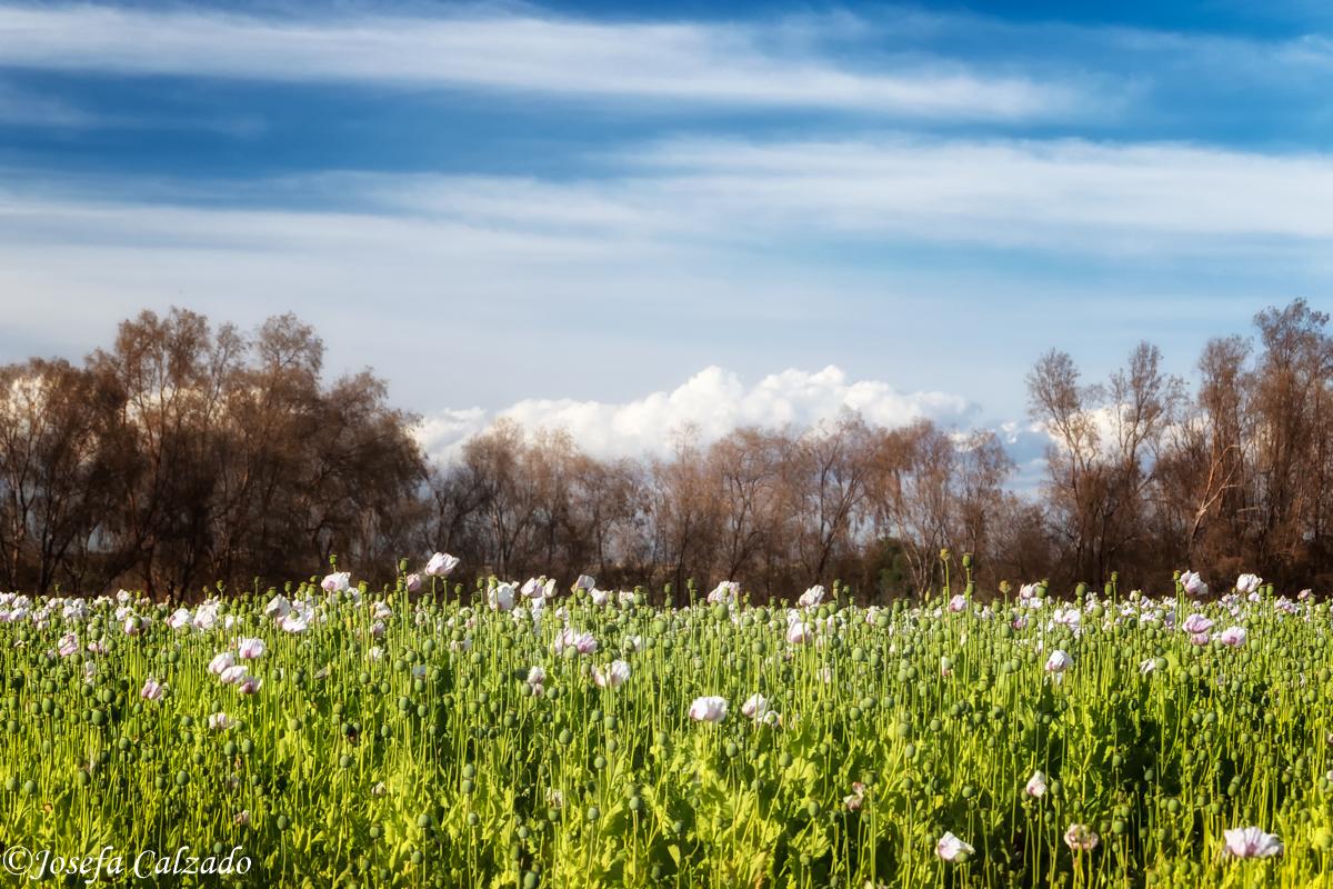 Campos de amapola blanca II