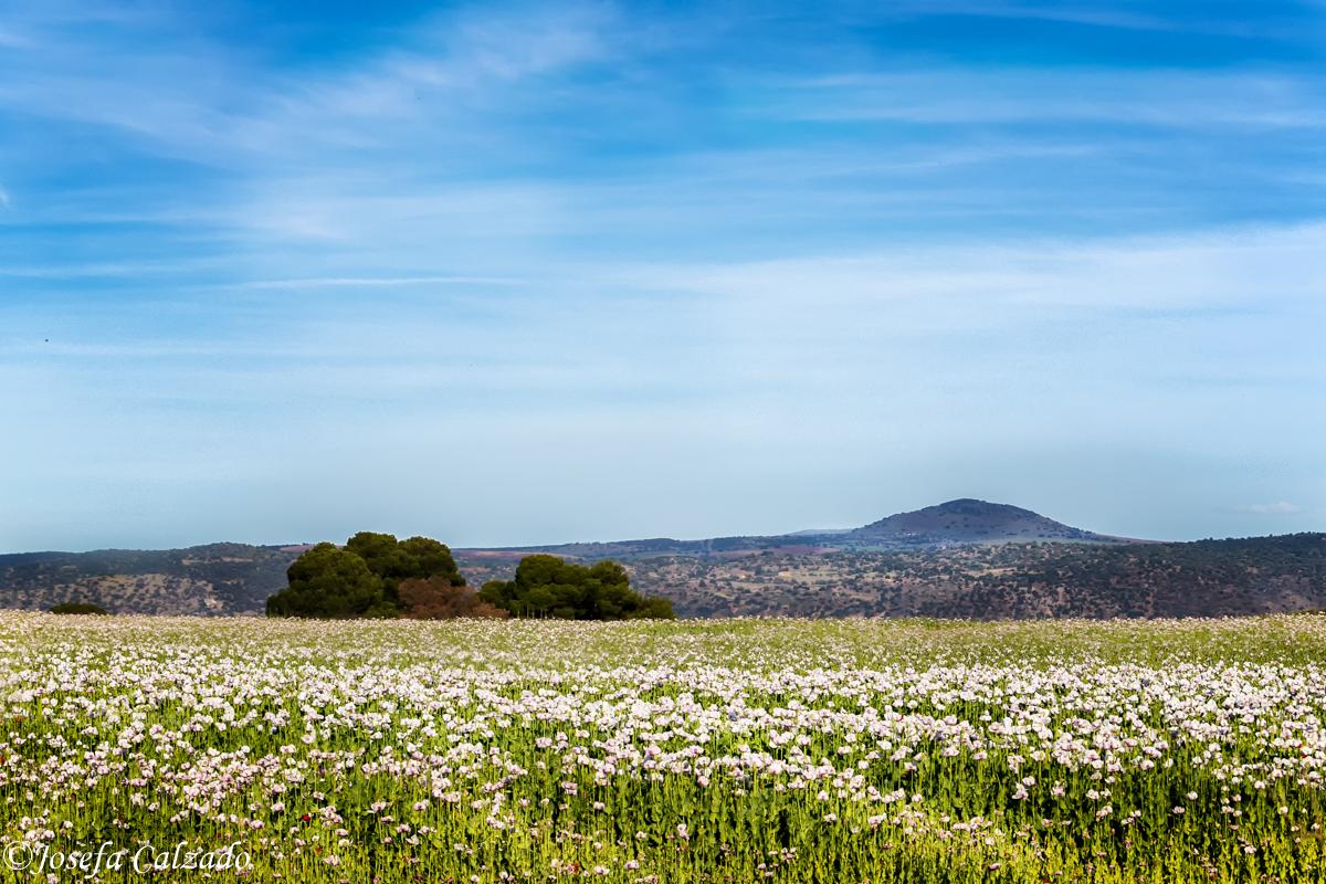 Campos de amapola blanca